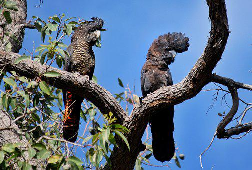 Red-tail Black Cockatoos, Australian Birds, Birds