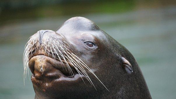 Sea Lion, Robbe, Seerobbe, Mammal, Animal, Wet