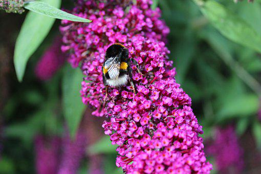 Hummel, Insect, Bug, Flowers, Summer Lilac, Blossom