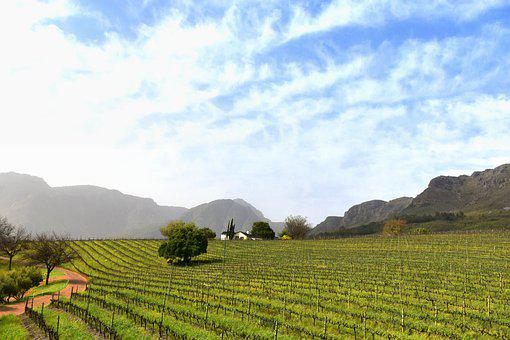 Vineyards, Vines, Winegrowing, Rebstock, Viticulture