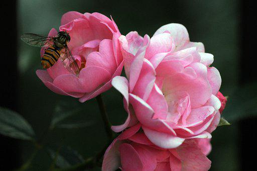 Wasp, Roses, Flowers, Pink Flowers, Insect, Bloom