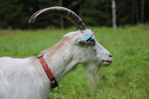 Goat, White Goat, Animal, Domestic Animal, Mammal