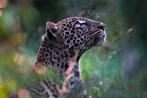 Leopard, Animal, Mammal, Wild Animal, Wildlife