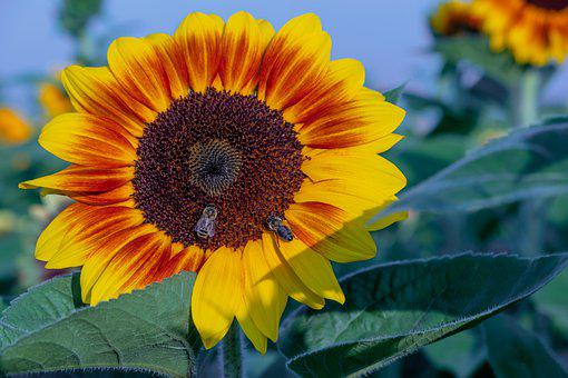 Sunflower, Flower, Bees, Insect, Yellow Flower, Petals