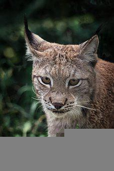 Lynx, Eurasian Lynx, Animal, Wild Cat, Wild Animal