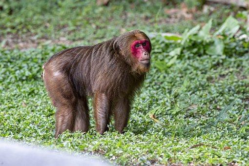 Stump-tailed Macaque, Macaque, Animal, Macaca Arctoides