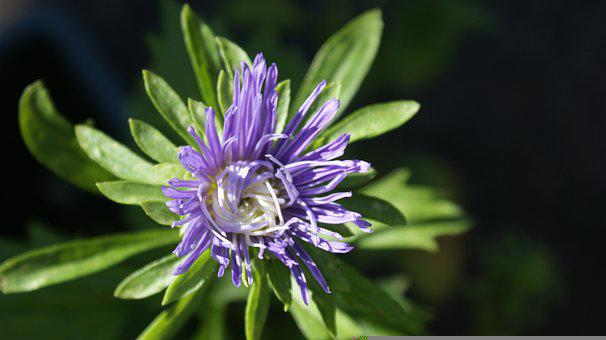 Chinese Aster, Aster, Flower, Petals, Edible Flower
