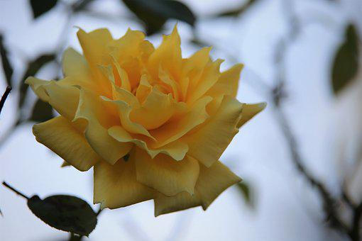 Flower, Rose, Bloom, Yellow Flower, Yellow Rose