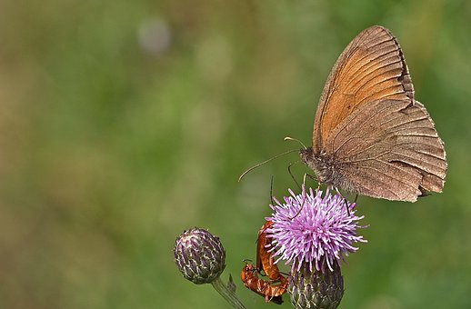 Butterfly, Insect, Thistle, Flower, Bloom, Blossom