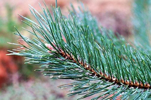 Pine Twig, Needles, Coniferous, Plant, Branch, Nature
