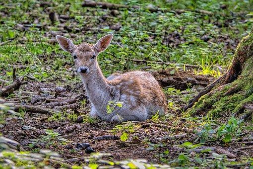 Fallow Deer, Calf, Young Animal, Ruminant, Mammal