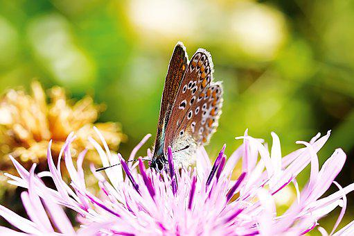 Common Blue, Butterfly, Flower, Pollination