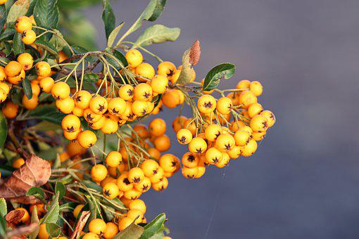 Berries, Firethorn, Pyracantha, Bush, Fruit