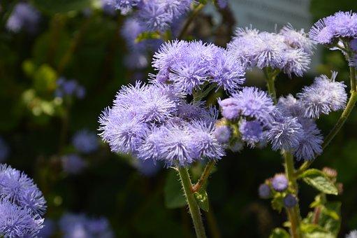 Flossflower, Flowers, Hairy Flowers, Blue Flowers