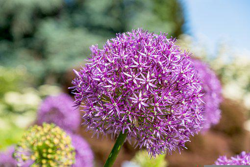 Flower, Ball Leek, Flower Ball, Ornamental Onion