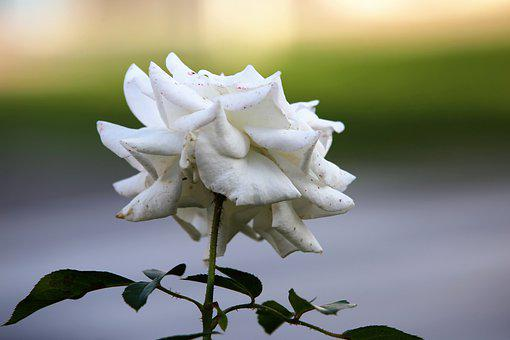 White Rose, Flower, Bloom, Blossom, White Flower