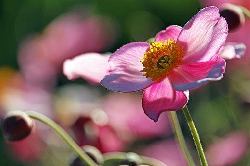 Anemone, Pink Anemone, Flower, Pink Flower, Pink Petals