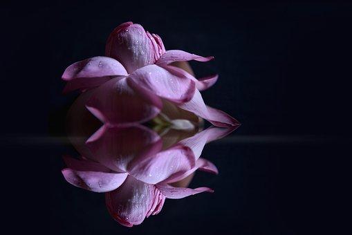 Lotus, Flower, Petals, Pond, Reflection, Nature
