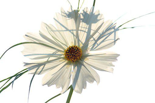 Backlighting, Cosmos, Cosmea, Flowers, Petals, Blossom