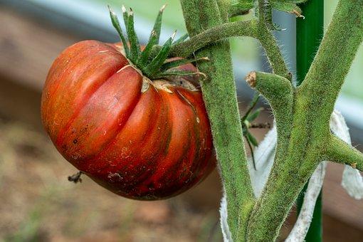 Tomato, Vegetable, Produce, Harvest, Organic, Farm