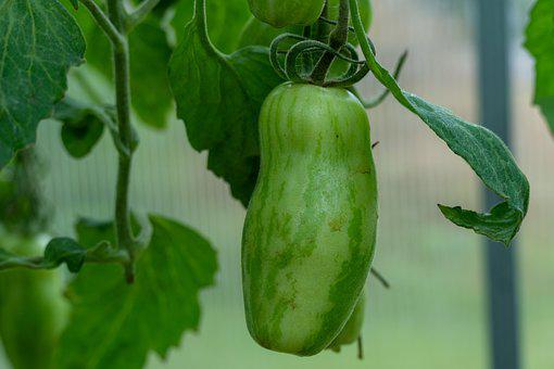 Tomatoe, Vegetable, Produce, Harvest, Organic, Farm