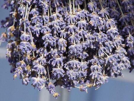Lavender, Lavandula, Flowers, Herb, Fragrant, Floral