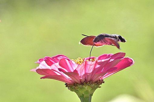 Hummingbird Hawk Moth, Motte, Zinnia, Insect, Flower