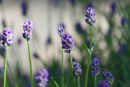 Lavender, Flowers, Plant, Bloom, Blossom