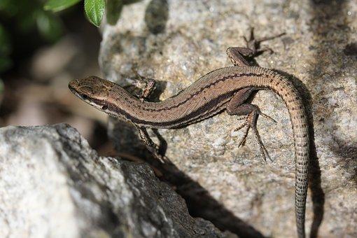 Lizard, Reptile, Scales, Rocks, Outdoors