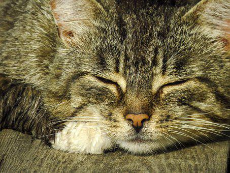 Cat, Feline, Whiskers, Nap, Paws, Furry, Snout, Head