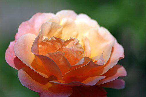Rose, Flower, Petals, Bloom, Blossom, Flowering Plant