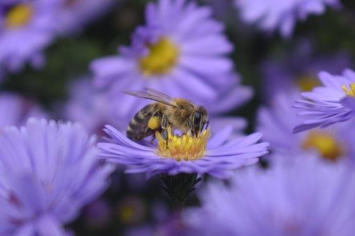 Bee, Insect, Pollen, Flowers, Petals
