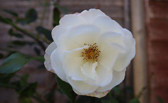 Rose, White Rose, Flower, White Flower, Petals, Bloom