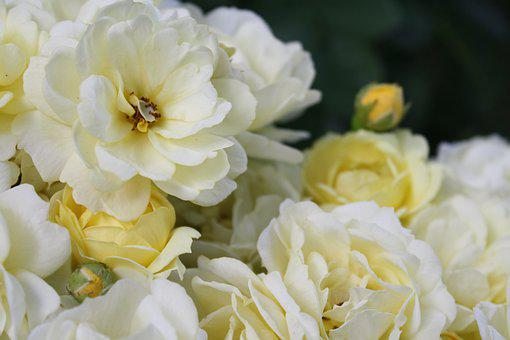 Roses, Flowers, Petals, Yellow Roses, White Roses