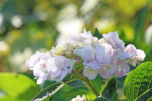 Hydrangea, Flowers, Plant, Bloom, Blossom