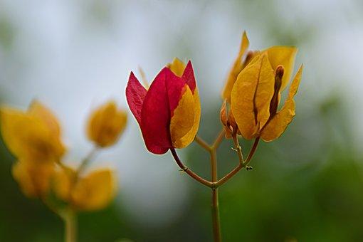 Bougainvillia, Flowers, Plant, Bloom, Blossom