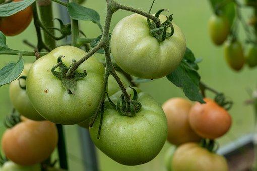 Tomatoes, Vegetables, Produce, Harvest, Organic, Farm