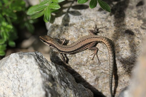 Lizard, Reptile, Scales, Rocks, Outdoors, Garden