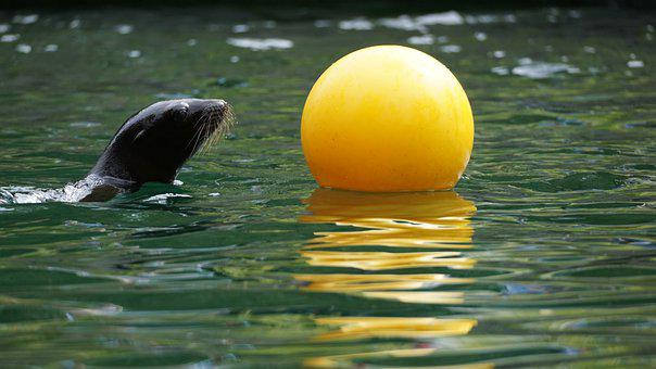 Seerobbe, Sea Lion, Robbe, Mammal, Ball, Play, Water