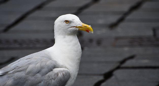 Seagull, Bird, Seabird, Plumage, Beak, Sea, Animal