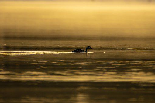 Great Crested Grebe, Lake, Sunrise, Sunset, Dawn, Dusk