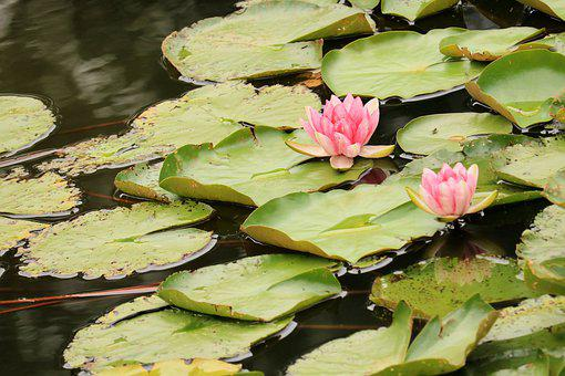 Flower, Lily, Water Lily, Petals, Water Plant, Pistils