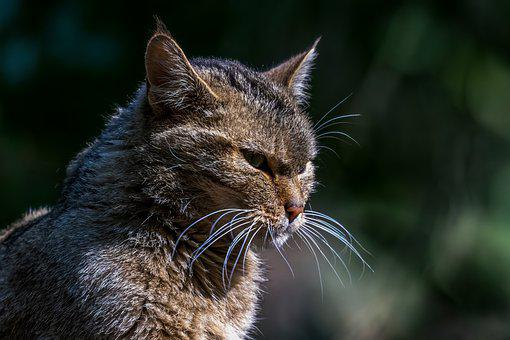 Wildcat, Wild Animal, Cat, Feline, Cat Profile