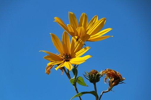 Flowers, Yellow Flowers, Sunflowers, Bloom, Blossom