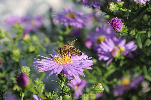 Bee, American Asters, Flower, Honey Bee, Insect