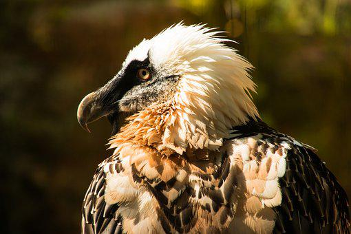 Bearded Vulture, Bird, Animal, Lammergeier, Ossifrage