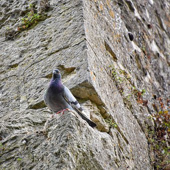 Pigeon, Bird, Perched, Animal, Wall, Perched Bird