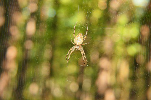 Spider, Spiderweb, Cobweb, Web, Orange Spider, Arachnid