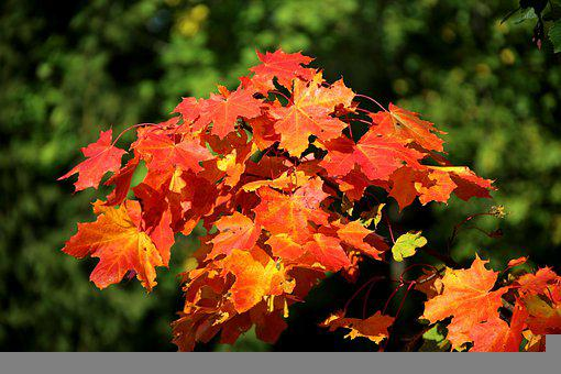 Leaves, Maple Leaves, Maple Tree, Autumn Leaves