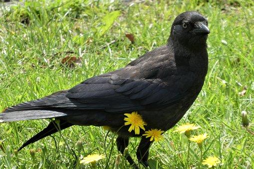 Jackdaw, Crow, Bird, Black Bird, Black Feathers